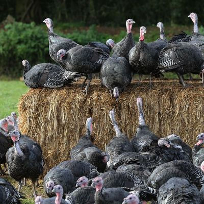 turkeys having fun in the hay